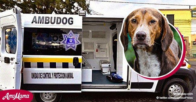 Llegó la Ambudog: México ya tiene el primer lugar con una ambulancia para perros callejeros
