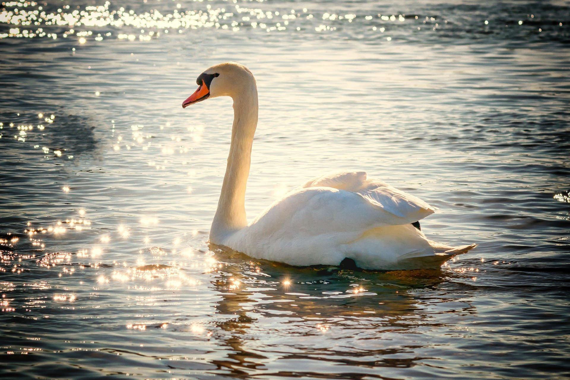 A swan swimming on a body of water. | Source: pxhere.com