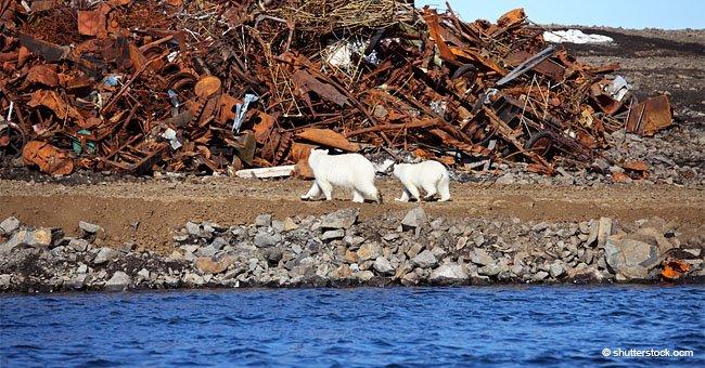 Osos polares forzados a migrar a archipiélago ruso para escapar del calentamiento global