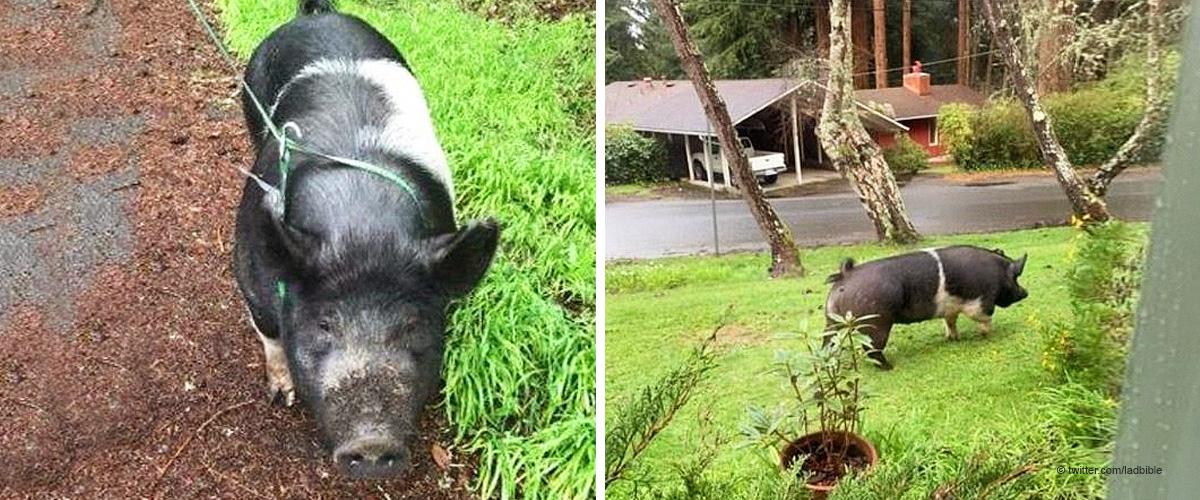Familie am Boden zerstört als geliebtes Hausschwein namens Princess von Nachbarn getötet wird