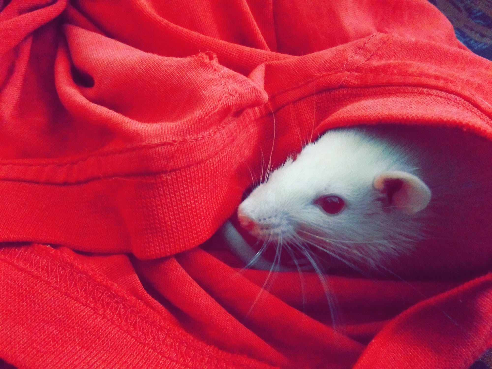 A rat in a red sweater | Source: Pexels