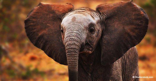 Poignant : le bébé éléphant n'arrête pas de pleurer après que sa mère le frappe et le rejette cruellement