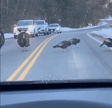 The turkey passing traffic for his turkey friends. | Photo: YouTube/ Storyful Rights Management.