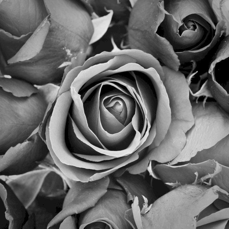 Des roses noir et blanc | Photo : Pixabay