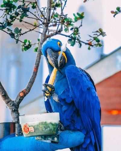 Un perroquet bleu tenant une brosse à dent | Unspalsh