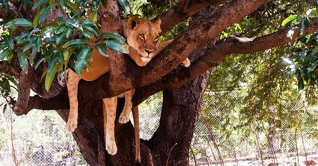 Daily Joke: One Village Was Attacked by a Lion