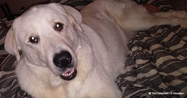 Une famille a sauvé un chien d'une mort certaine et des années plus tard, il est mort en leur sauvant la vie dans une fusillade