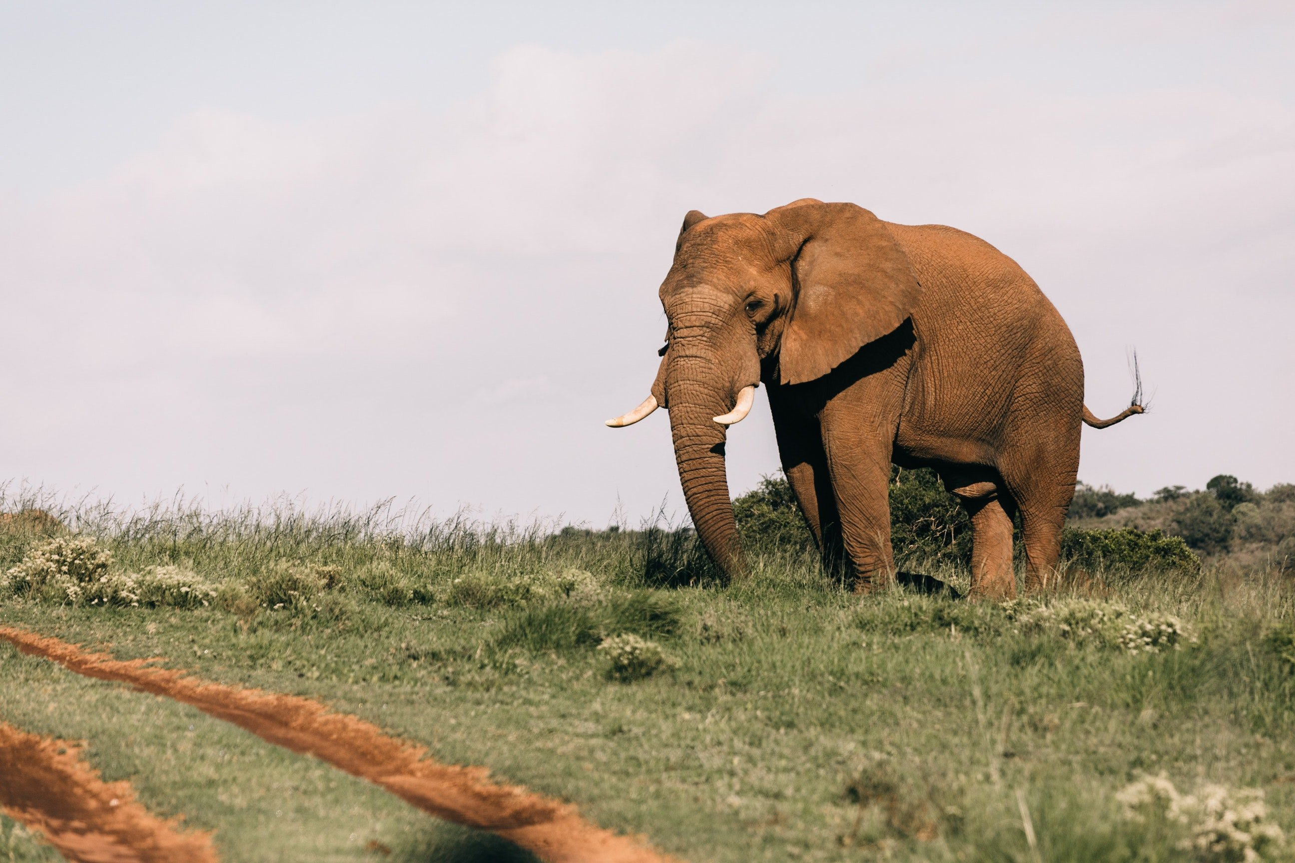 Pictured - A photo of an elephant on grassy fields | Source: Pexels