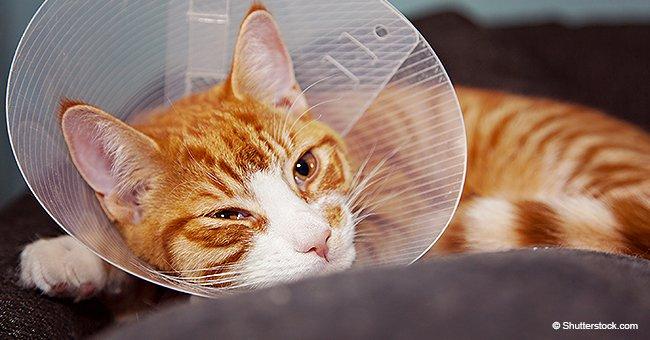 """Mujer gastó 1.200 euros en cirugía plástica para su gato porque """"era demasiado feo"""""""