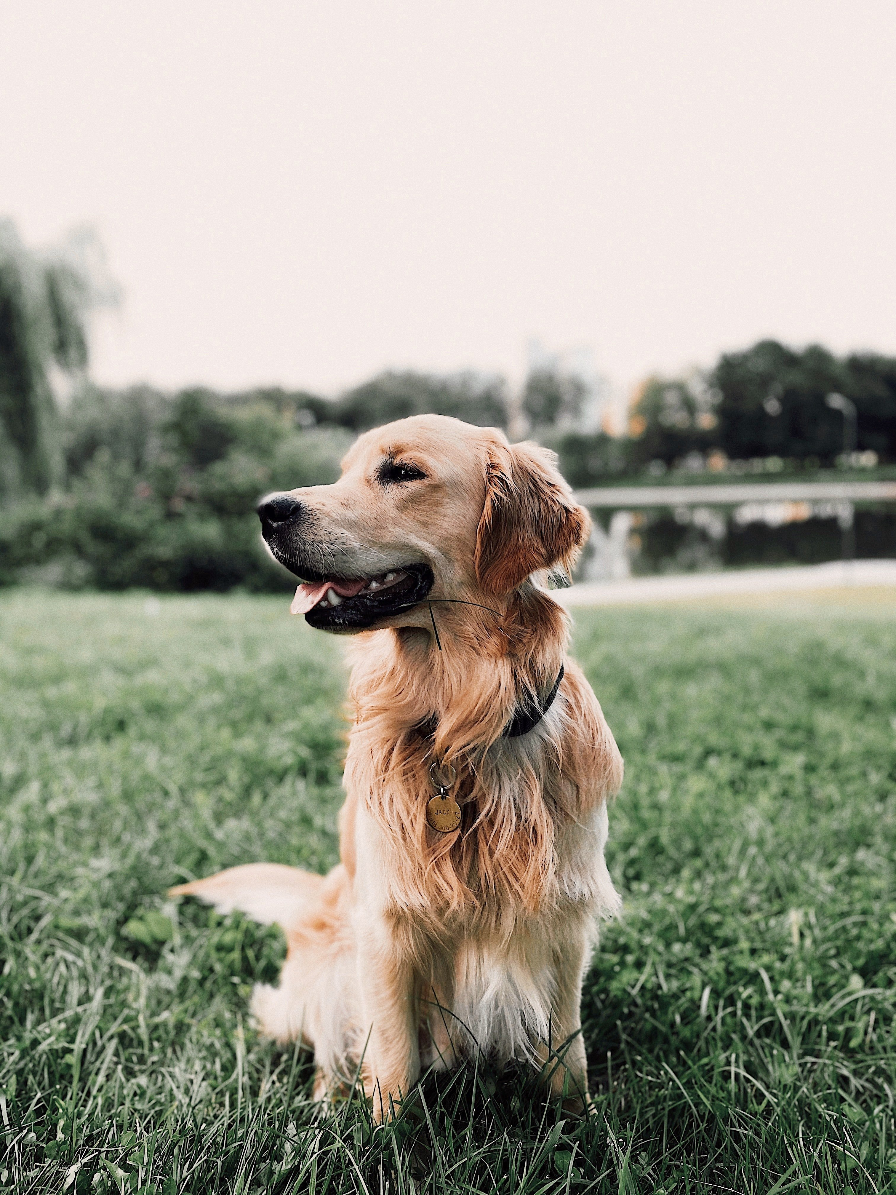 Pictured - A golden retriever on a grassy lawn | Source: Pexels