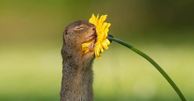 L'histoire derrière la photo d'un marmotini se délectant de l'odeur d'une fleur