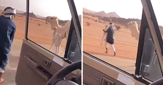 A man getting out of a car and picking up a baby camel as its mother looks on. │Source: reddit.com/r/HumansBeingBros