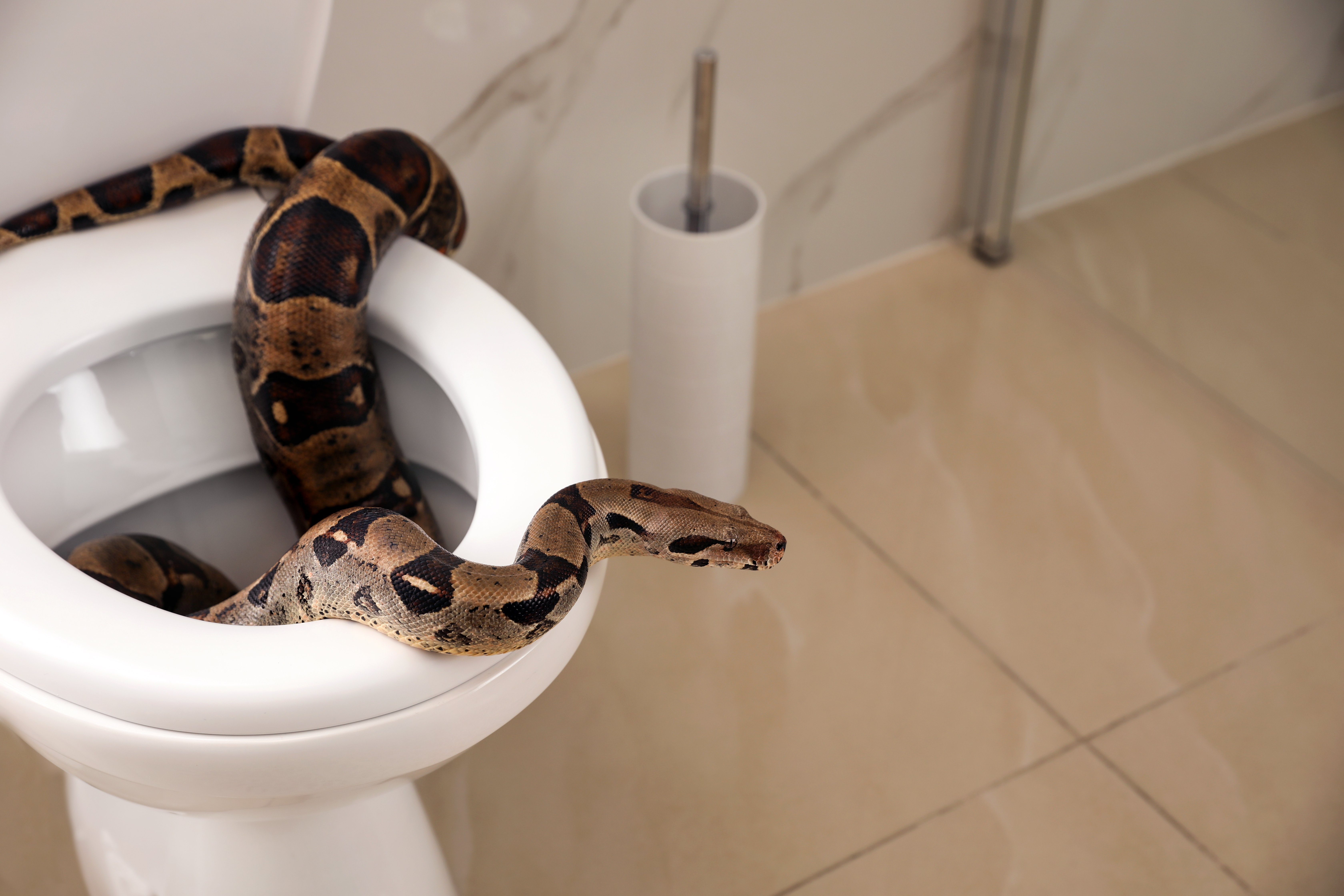 Brown boa constrictor on toilet bowl in bathroom   Photo: Shutterstock/New Africa