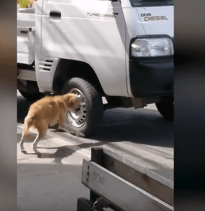 A street dog of a town in the Philippines trying to get a vehicle to stop in the hopes of getting help for her dead puppy, lying at the side of the road. | Source: YouTube/Viral Press