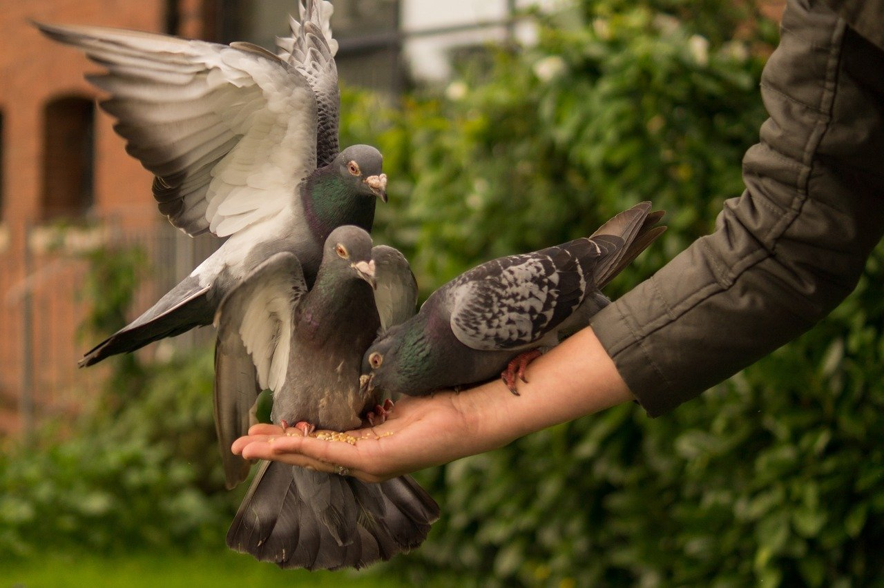 Des pigeons.   Photo : Pixabay