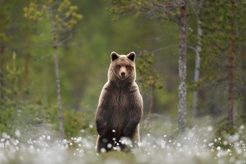 A bear standing upright in a swamp. | Source: Shutterstock.