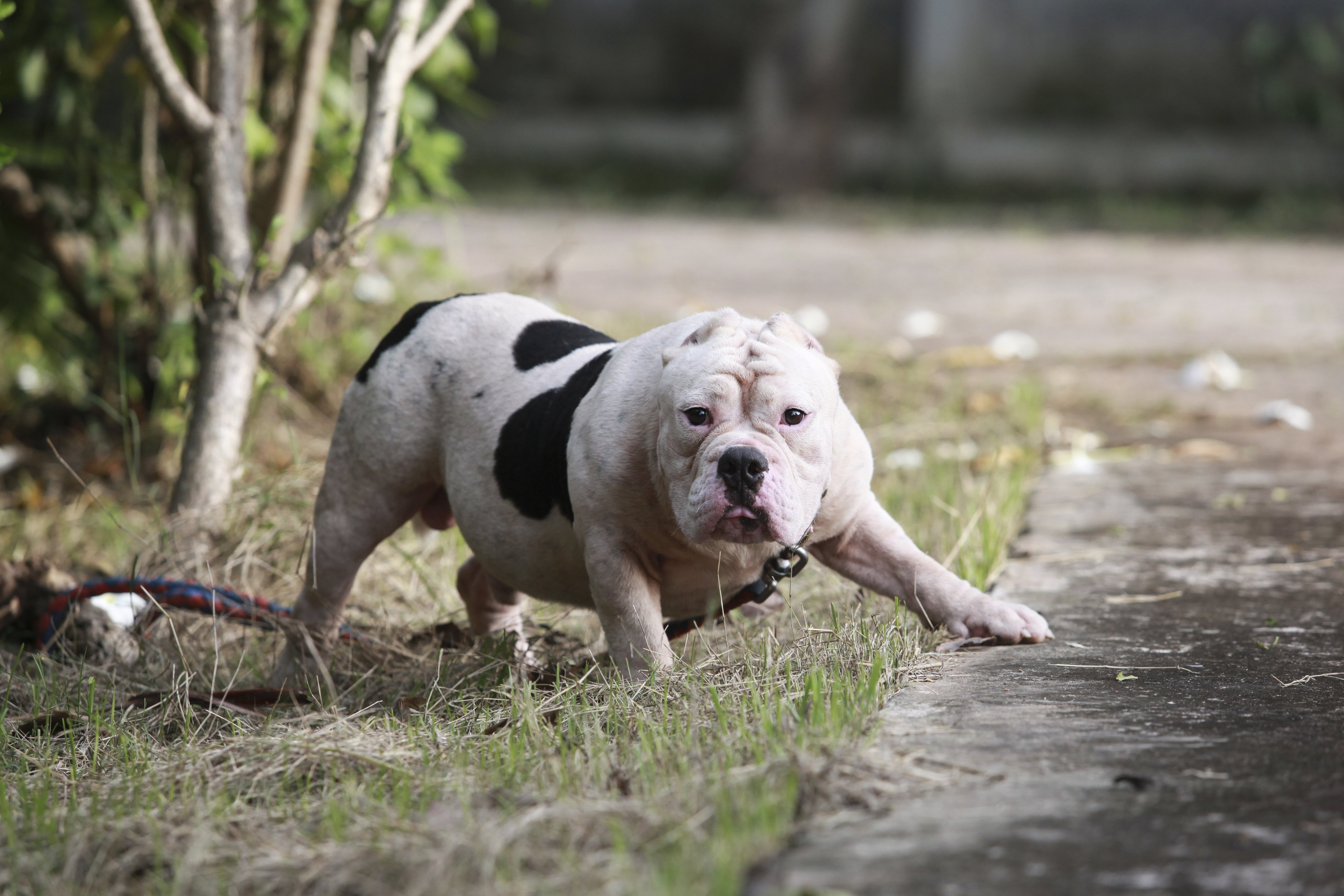 A pit bull braces itself for an attack   Photo: Shutterstock/Tungtron