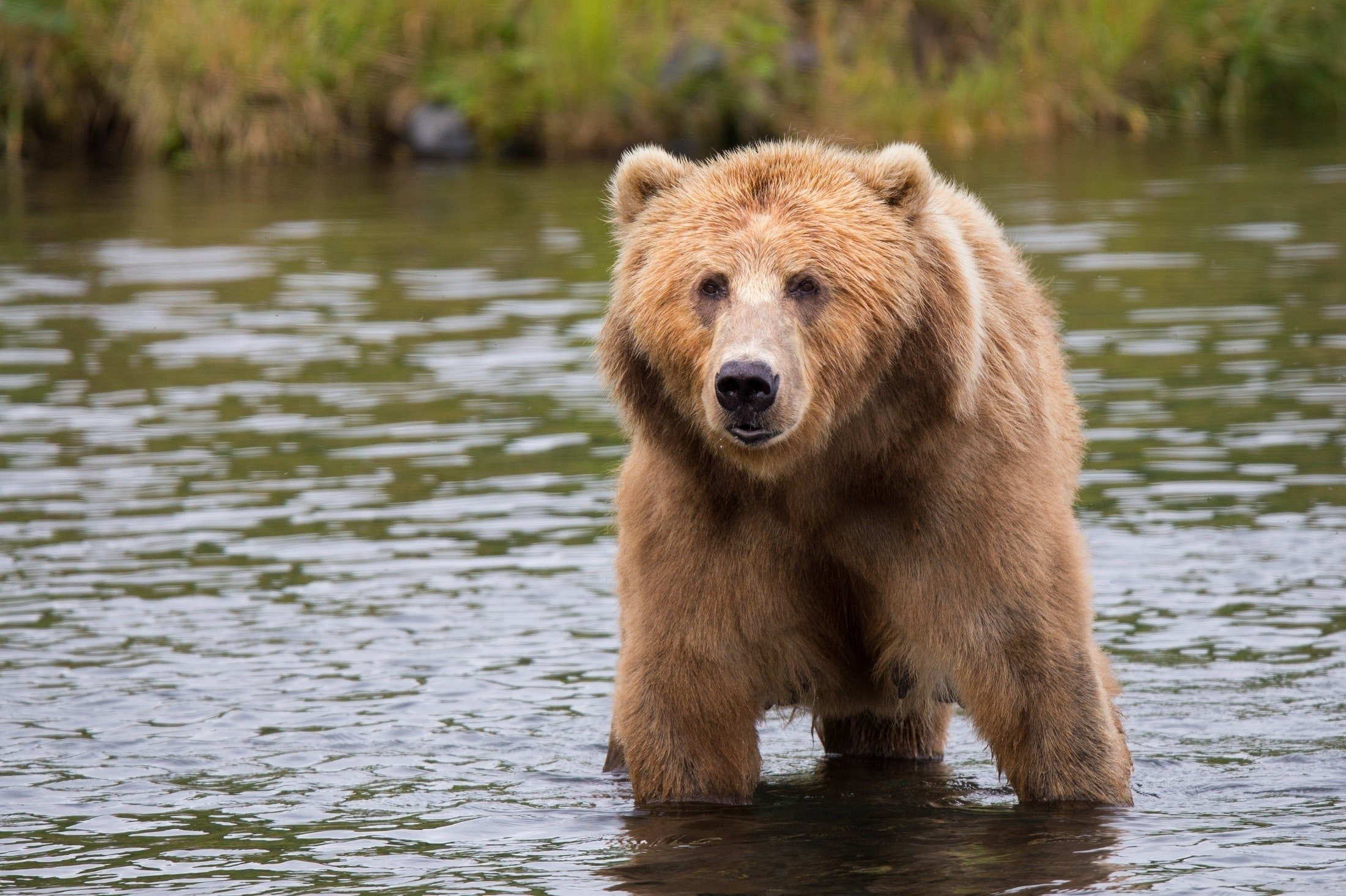 A big brown bear wades through the water next to the river's edge | Photo: Pexels/Pixabay