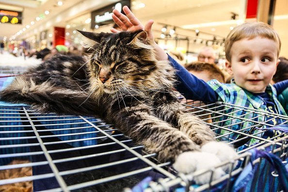 A young boy seen placing his hands on a Maine Coon cat at the exhibition of breed cats in the shopping centre | Photo: Getty Images