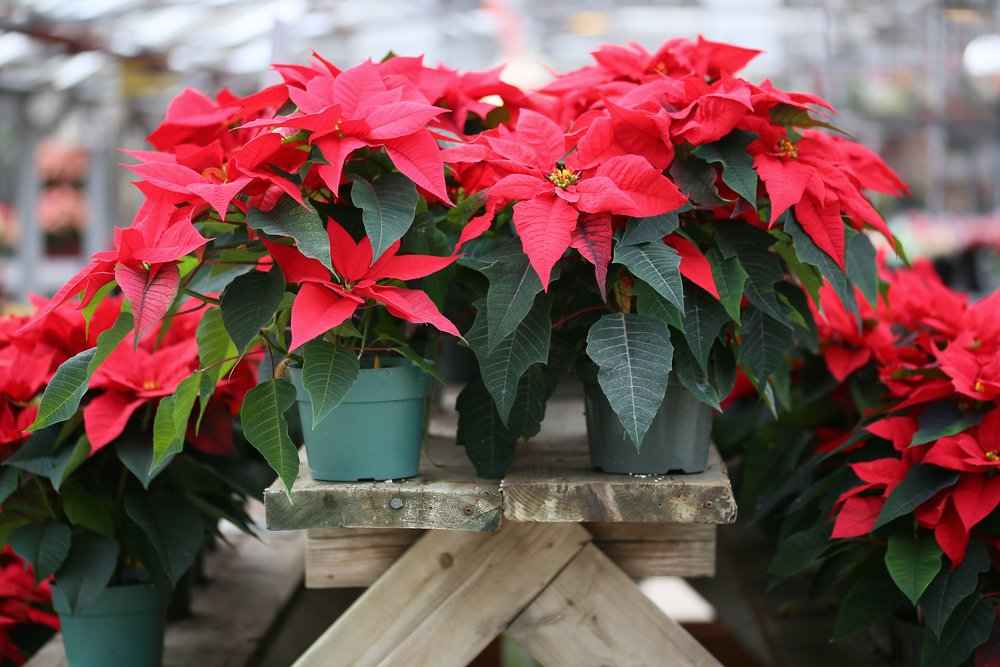 A photo of a several pots of Christmas Poinsettia.   Photo: Shutterstock
