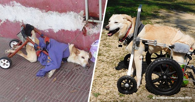 Inspiring transformation of abandoned disabled dog who was picked up by a loving family