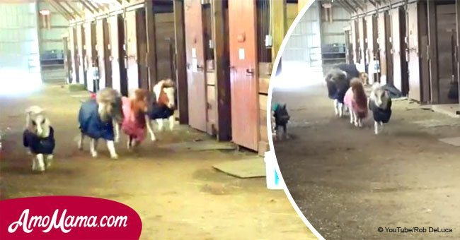 Little horse race explodes in the stable. Owner stunned when unexpected outsider sprints around
