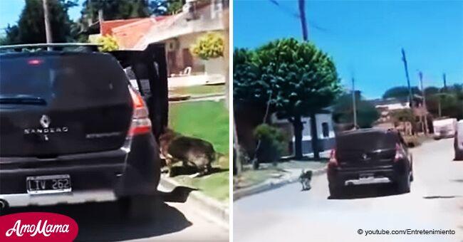 Perro persigue 15 cuadras a la famila que lo bajó del auto y lo abandonó, antes de rendirse