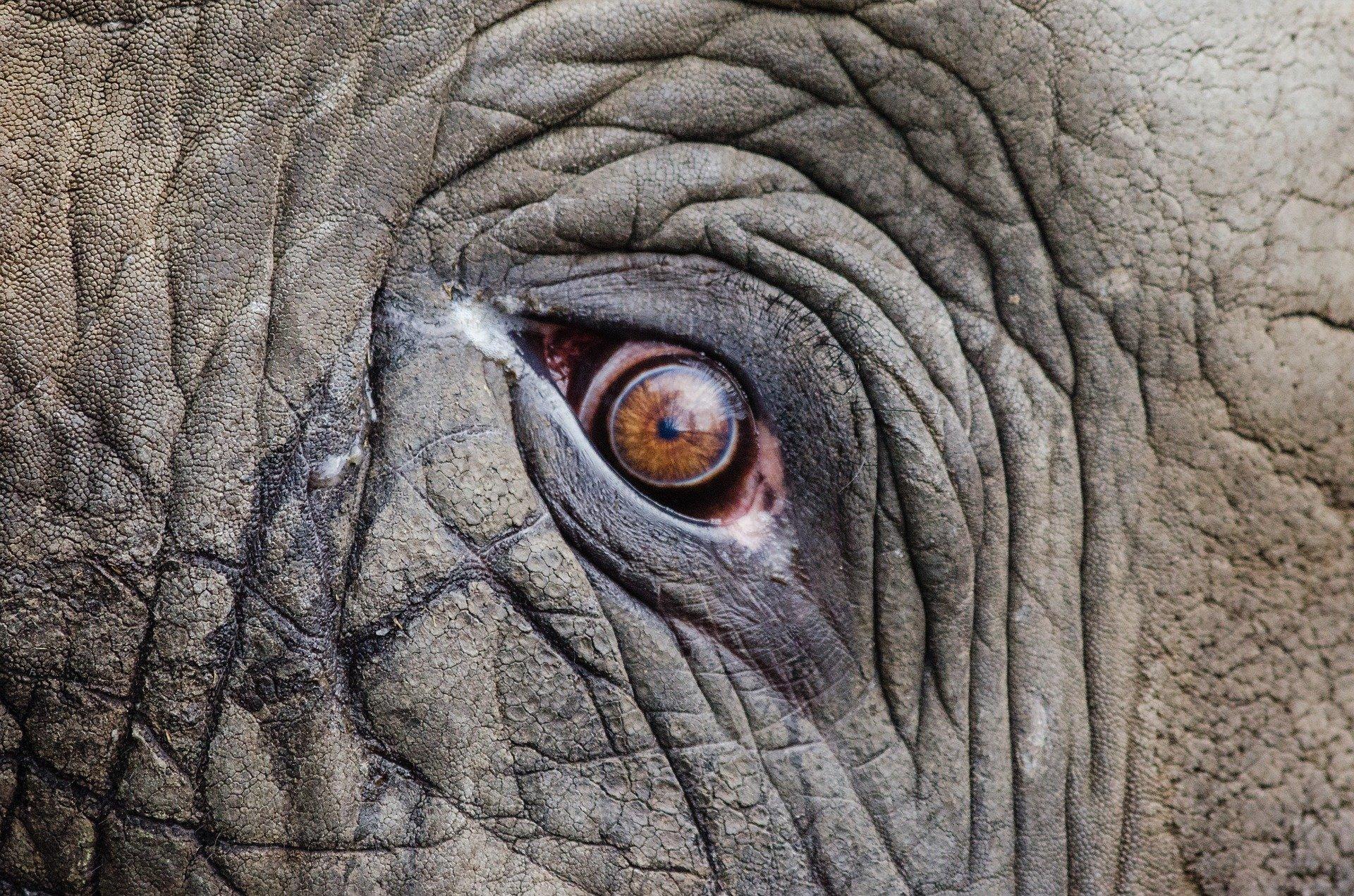Ojo de elefante. Fuente: Pixabay