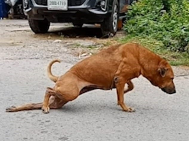 Gaeby feint la blessure à la jambe pour recevoir de la nourriture dans le rues de Thailand. | Facebook/Daily Mail