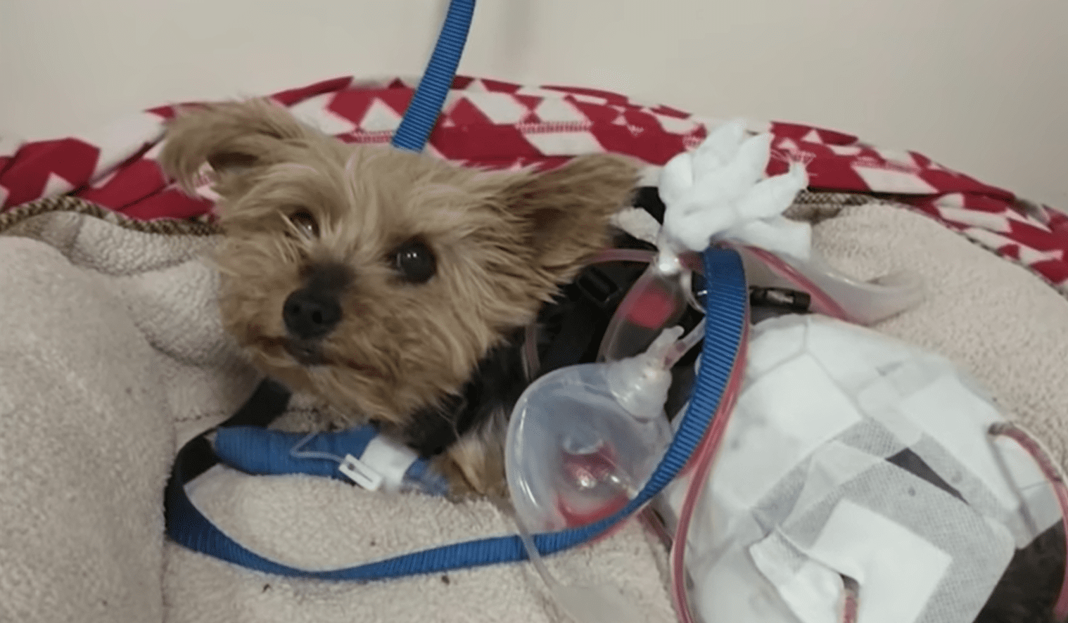 A 6-year-old Yorkie named Macy in intensive care. | Source: youtube.com/Your Morning