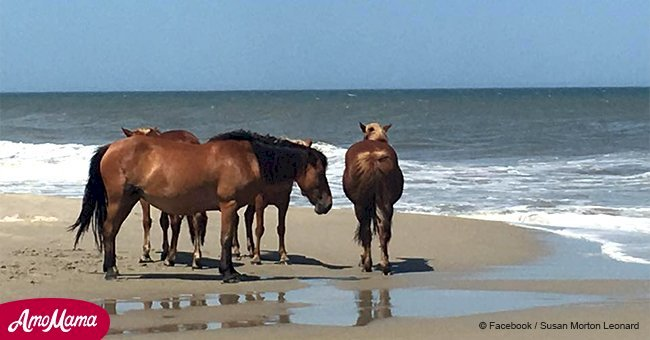 North Carolina's famous wild horses survived hurricane at flood site