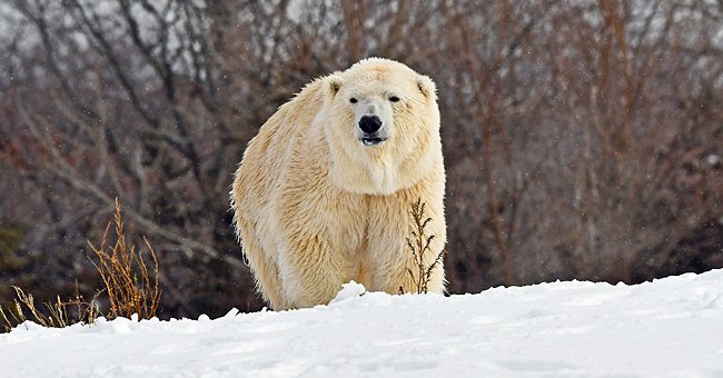 Anana, who passed away this week, pictured enjoying the snow. | Photo: Facebook/detroitzoo.