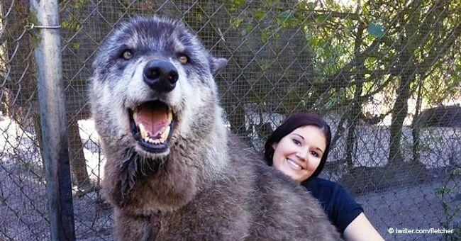Un chien-loup géant rejeté par son propriétaire est devenu la mascotte du ''Shy Wolf Sanctuary'' après avoir évité l'euthanasie