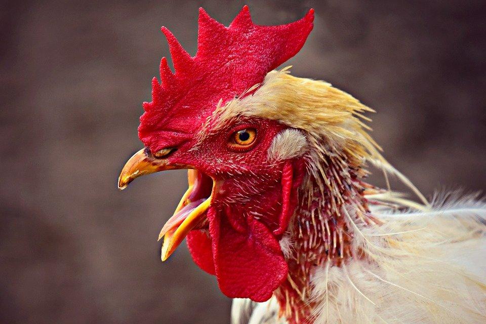 Un coq | Photo : Pixabay