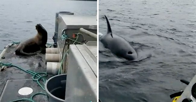 Sea lion climbs aboard a boat to escape orcas circling in the water   Photo: Twitter/keyon