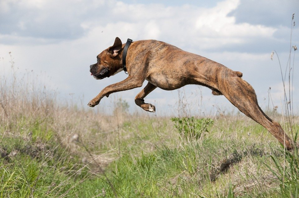 Perro corriendo en el pasto. | Imagen: Pixabay