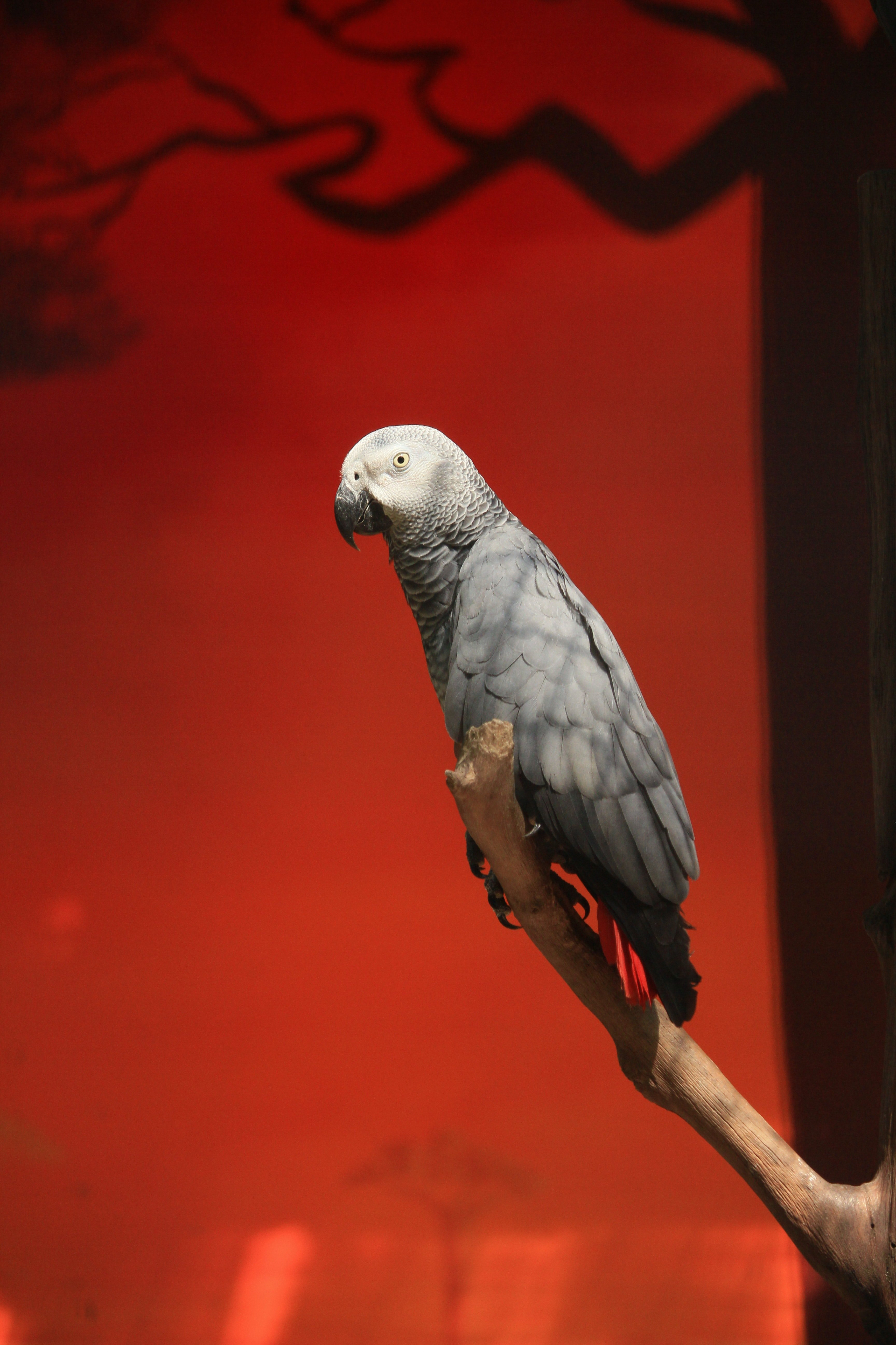 An African Gray perched on a branch.   Pexels/ Rutpratheep Nilpechr