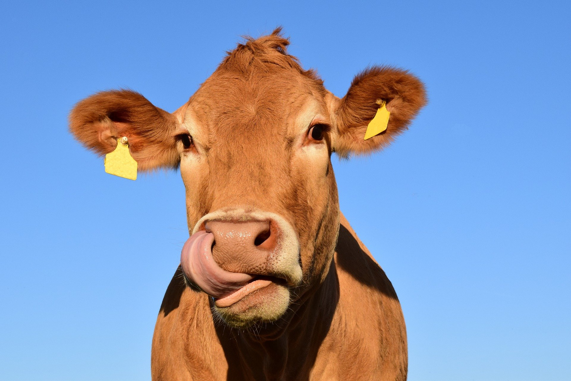 Wow! That must have been a very productive milk cow!   Photo: Pixabay/Ulrike Leone