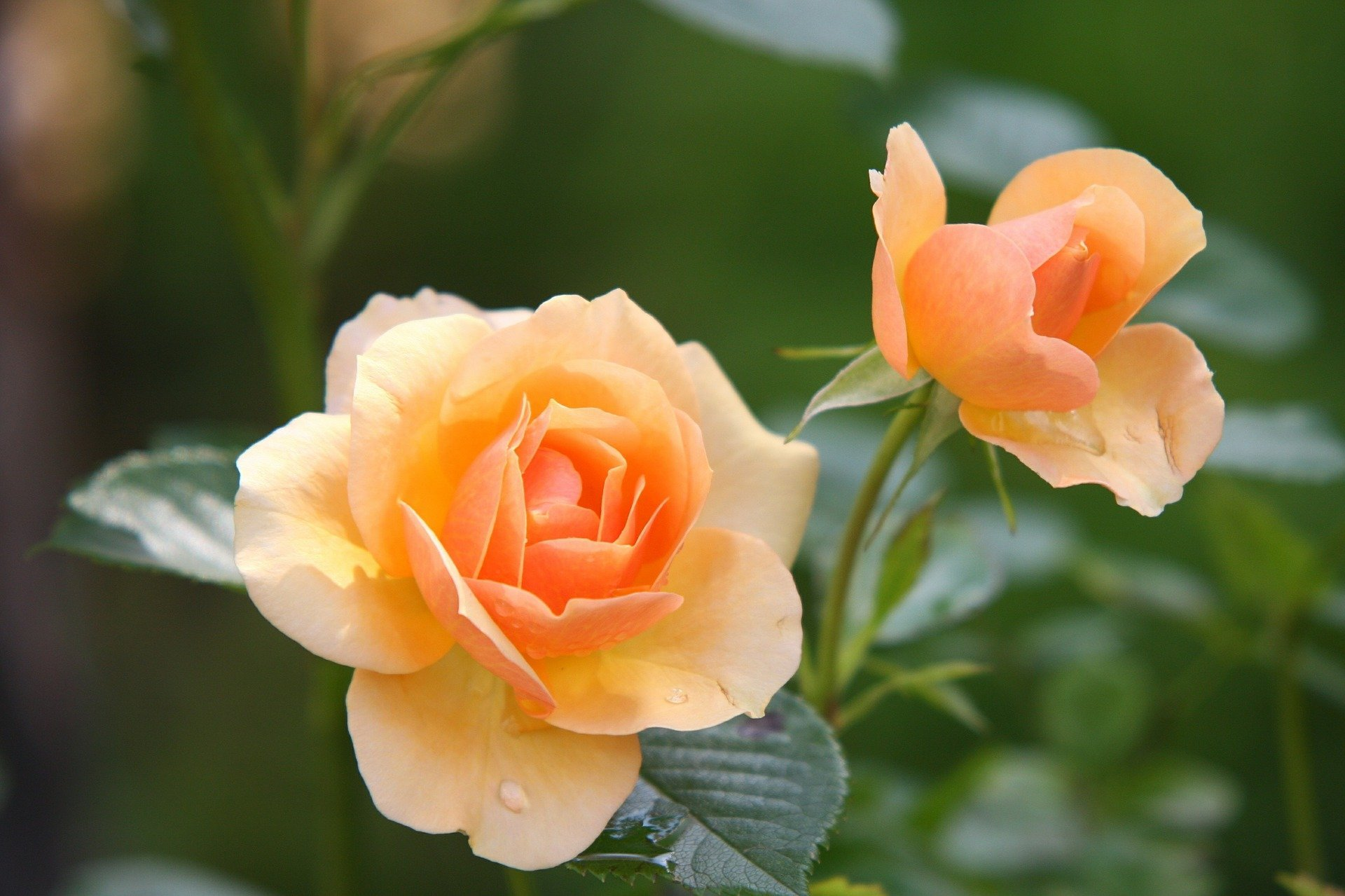 An image of two orange-colored rose flowers. | Photo: Pixabay