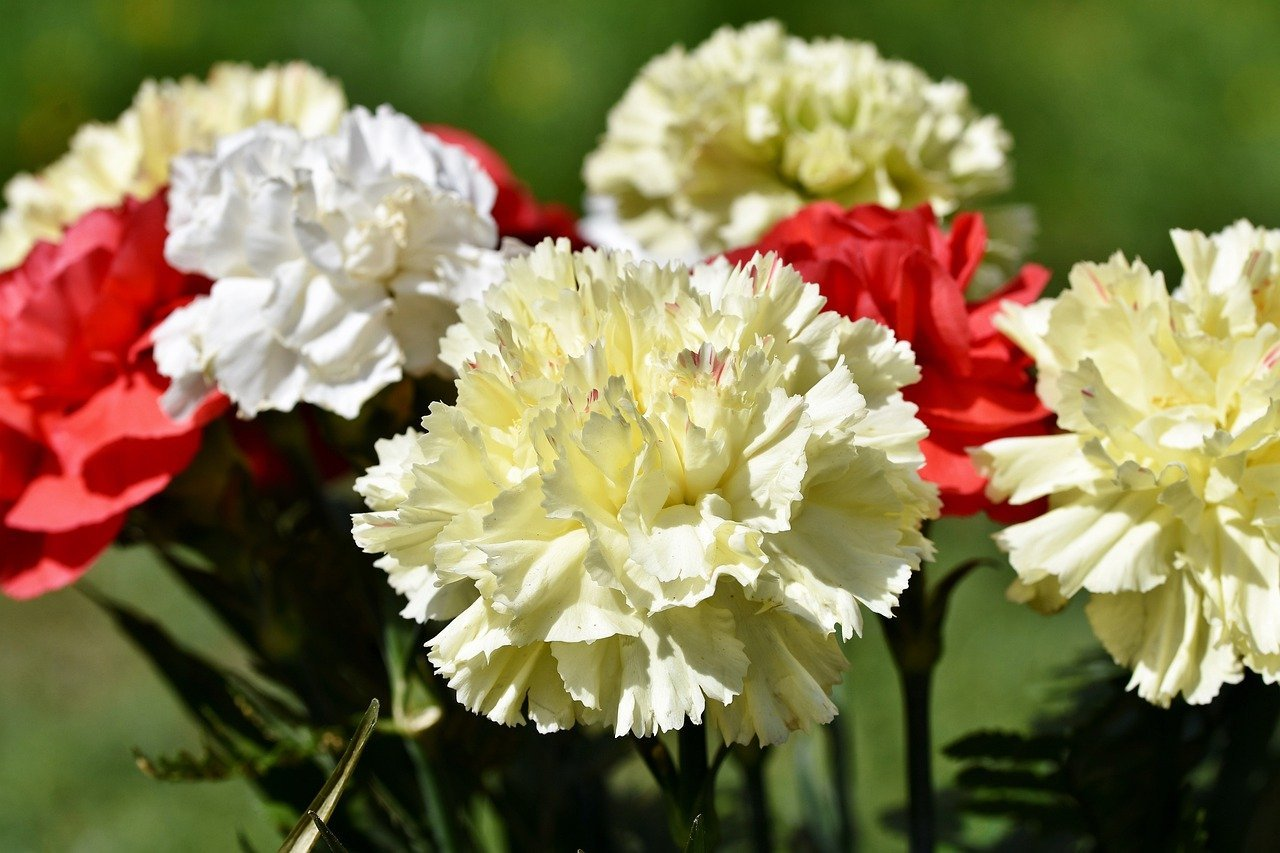 A bouquet of yellow, red, and white carnations   Photo: Pixabay/Capri23auto