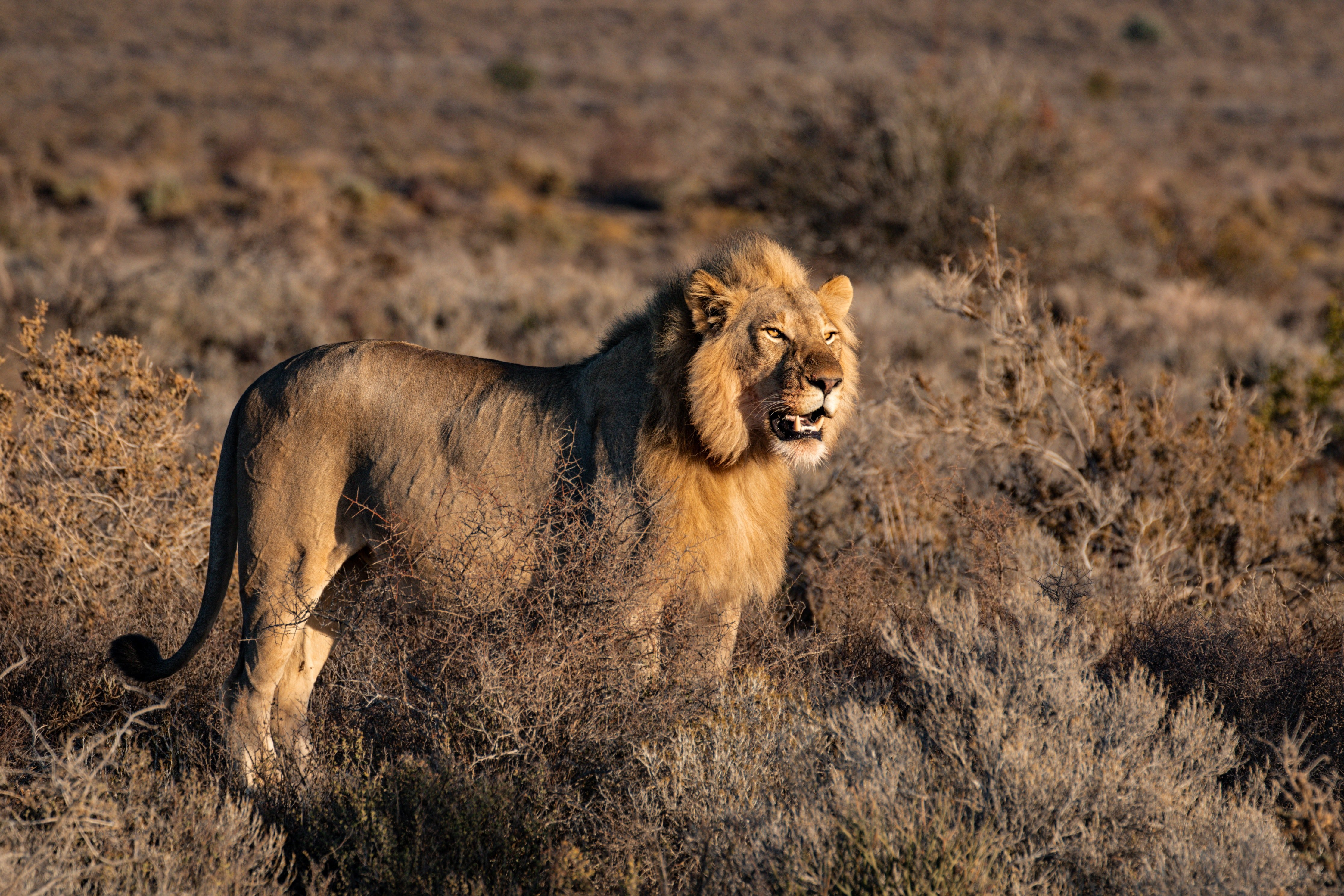 Pictured - An image of a lion out in the wild | Source: Pexels