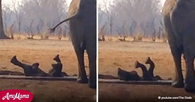 Lions circle a trapped baby elephant, but then another elephant herd comes to the rescue