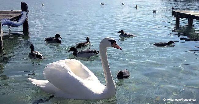 """Un cygne a été tué sur le lac d'Annecy: """"On ne peut pas laisser passer ça"""""""