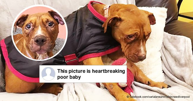 Sweet dog rescued after being used as a bait dog for dog fighting