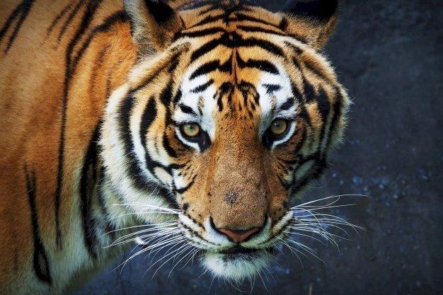 Un tigre fixant le caméra   Freepik