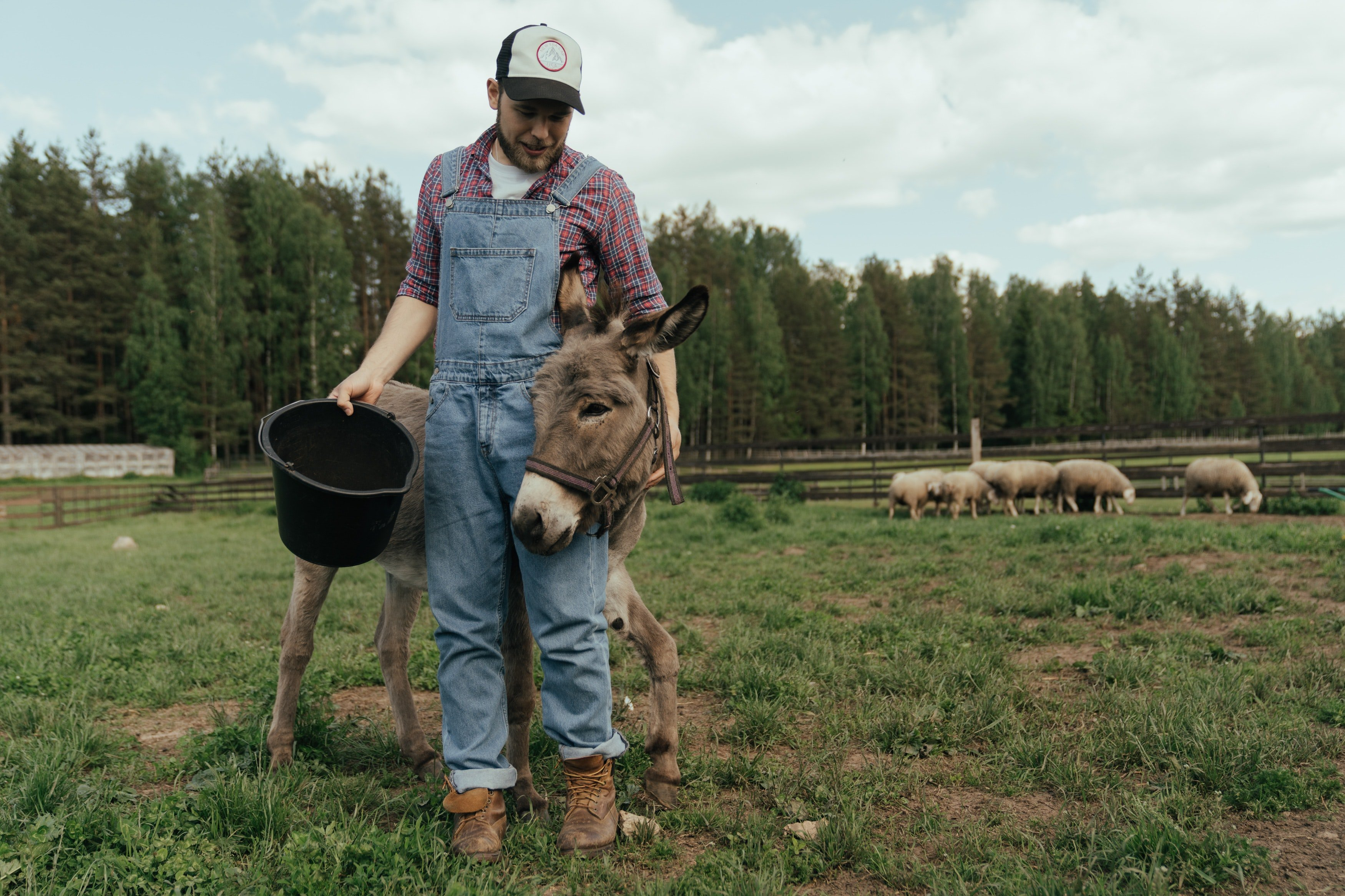 A donkey with a farmer.   Pexels/ cotton bro