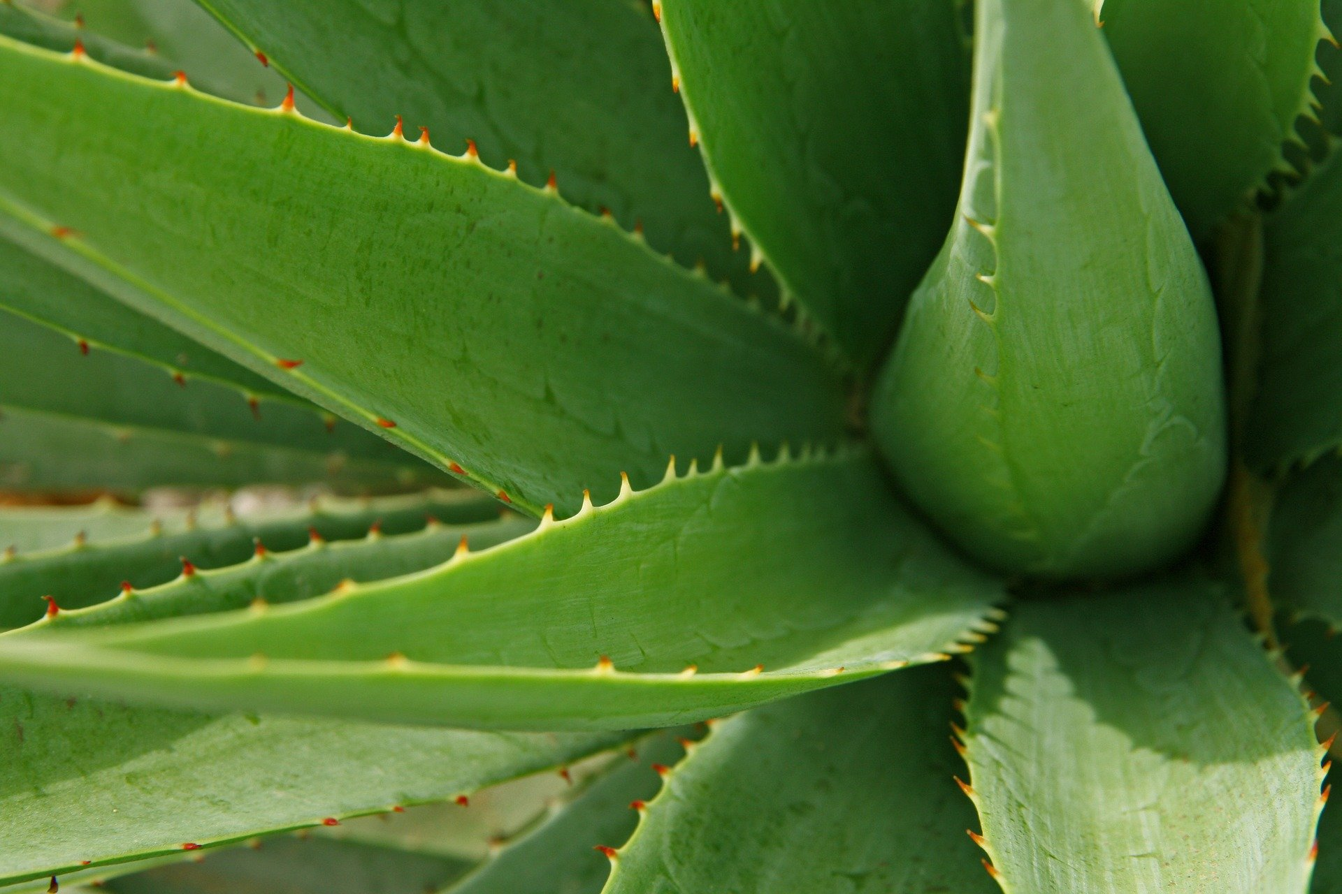 Un plant d'Aloe vera | Photo : Pixabay.