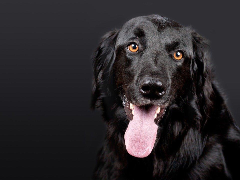 Un chien qui tire la langue   Photo : Pixabay