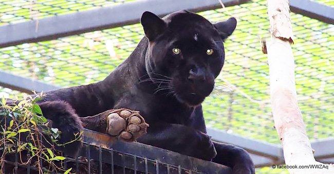Cette femme est sauvagement attaquée par un jaguar dans un zoo après qu'elle ait sauté la clôture pour prendre à un selfie