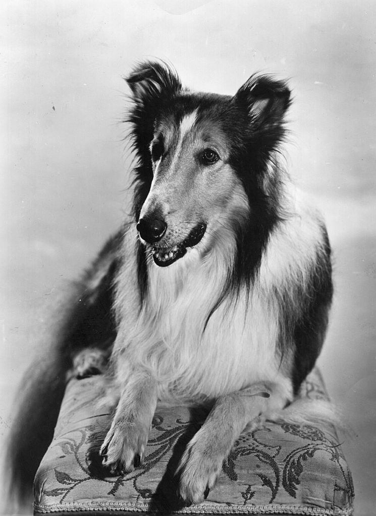 Lassie who appeared in many children's adventure films | Getty Images